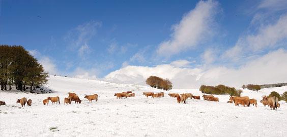 cows in aubrac area
